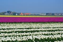 Поле тюльпана Стоковая Фотография RF