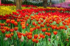 Поле тюльпанов в парке Стоковое Изображение