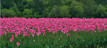 Поле тюльпанов на краю леса Стоковая Фотография