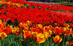 Поле тюльпанов, тюльпанов милых Стоковая Фотография