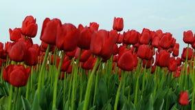 Поле тюльпанов сток-видео