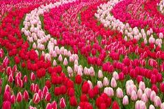Поле тюльпанов Стоковая Фотография