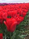 Поле тюльпанов Стоковые Фото