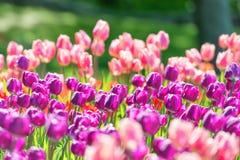 Поле тюльпанов Стоковое фото RF