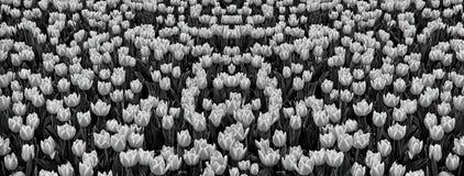 Поле тюльпанов стоковая фотография rf