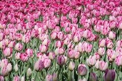 Поле тюльпанов purpe Стоковые Изображения