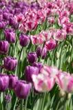 Поле тюльпанов purpe Стоковые Фото