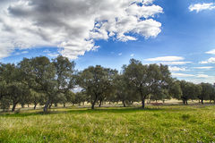 Поле дубов в countyside Toledo Стоковые Изображения RF