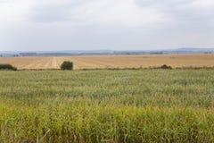 Поле урожая Стоковое Фото