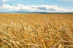 Поле ушей пшеницы Стоковая Фотография