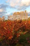 Поле фермы голубики в осени Стоковое Изображение RF