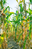 Поле фермы с заводами мозоли дальше в деревне Стоковое Изображение RF