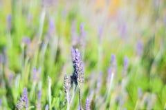Поле фиолетовых цветков levander Стоковое Фото