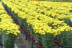 Поле хризантемы в сборе Стоковые Изображения RF