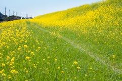 Поле цветений рапса Стоковые Фото