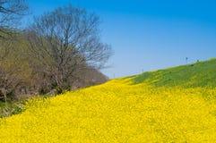 Поле цветений рапса Стоковое Изображение