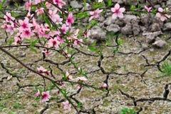 Поле цветения персика весной Стоковые Изображения
