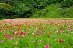 поле цветет мак стоковые изображения