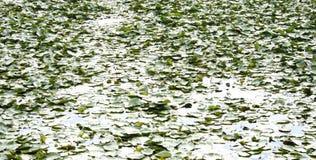 поле цветет лотос Стоковое Фото