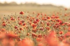 поле цветет одичалое мака красное Стоковые Изображения