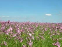 поле цветет пинк Стоковые Изображения RF