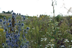 Поле цветет Eryngium Стоковое Изображение