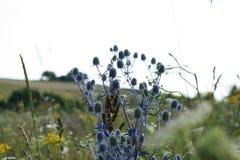 Поле цветет Eryngium Стоковые Изображения