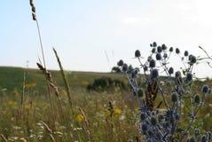 Поле цветет Eryngium Стоковая Фотография