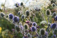 Поле цветет Eryngium Стоковое Изображение RF