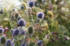 Поле цветет Eryngium Стоковая Фотография RF