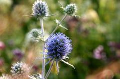 Поле цветет Eryngium Стоковые Фото