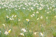 поле цветет narcissus Стоковое Изображение RF