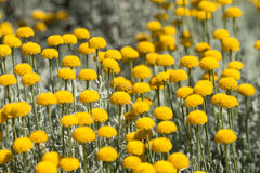 поле цветистое Стоковая Фотография RF
