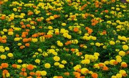 Поле цветка гвоздики Стоковые Фотографии RF