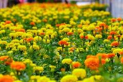 Поле цветка гвоздики Стоковые Изображения RF