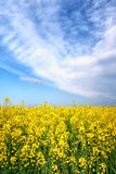 Поле цветка желтого цвета весны лета стоковое изображение rf