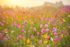 Поле цветка космоса в утре Стоковая Фотография RF