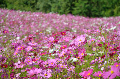 Поле цветка космоса Стоковое Фото