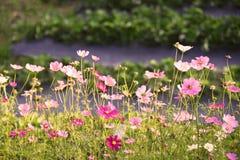 поле цветка космоса Стоковые Фото
