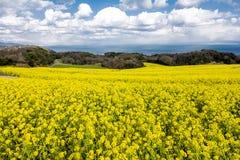 Поле цветка Коул Стоковое Фото