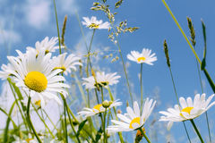 Поле цветка маргаритки Стоковые Изображения