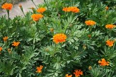Поле цветка ноготк Стоковые Изображения RF