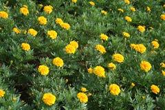 Поле цветка ноготк Стоковая Фотография RF
