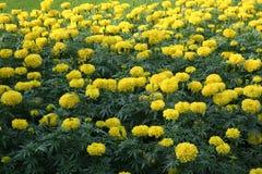 Поле цветка ноготк Стоковые Фото