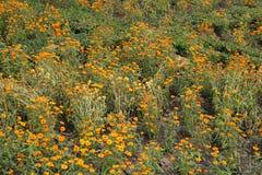 Поле цветка ноготк Стоковое Фото