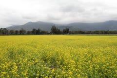 Поле цветка рапса Стоковая Фотография RF
