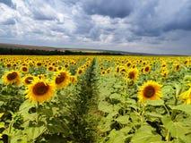 Поле цветка Солнця в Европе стоковые изображения