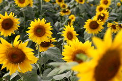 Поле цветка Солнця стоковые фото