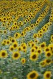 Поле цветка Солнця Стоковая Фотография