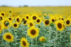 Поле цветка Солнця Стоковая Фотография RF